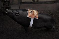 S L A N T E D - Portfolio #slanted #pig #swim