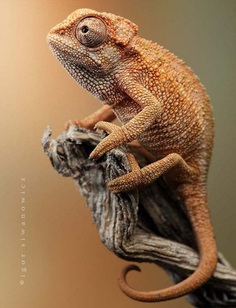 Astounding Chameleon Photography