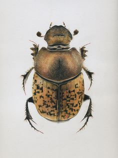 Beetles on Behance #bug #drawing #beetle #illustration #brown #drawn #pencil #hand