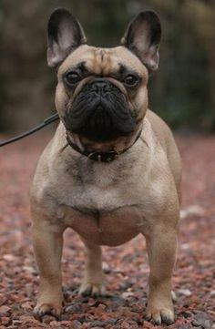 File:Confucius De la Parure.jpg - Wikipedia, the free encyclopedia #bulldog #photography #french