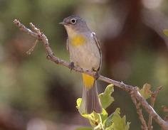 Virginia's Warbler, UTAH