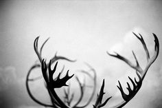 tumblr_la4su9aFbA1qamm7n.jpg 500×333 pixels #antlers #white #black
