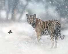 Dramatic Portraits of Wildlife Big Cats by Shaaz Jung