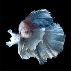 Stunning Portraits of Siamese Fighting Fish by Visarute Angkatavanich #betta #fish #photography #portrait #macro #underwater
