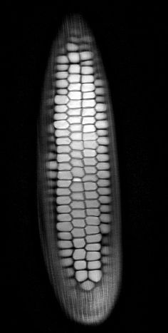 CORN MRI Scans of Produce | IFLScience Magnetic Resonance Imaging uses magnets to align hydrogen atoms and radio waves to create a series o #andy #magnetic #representation #scans #ellison #corn #mri #3d