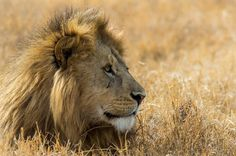 Photograph The king by Axel Haudiquet on 500px #wild #savana #lion #africa #travel #animal #safari