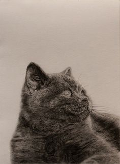 Cat illustration, graphite on paper #white #graphite #cat #black #fur #illustration #and #pencil #drawing