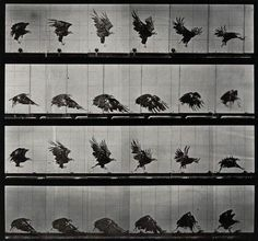 Retronaut Animals and Humans in Motion by Eadweard Muybridge #birds #sequence