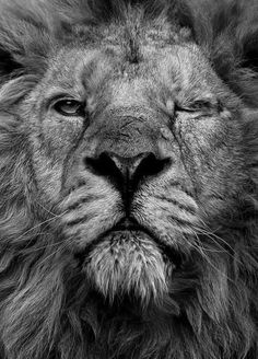 (1) Likes | Tumblr #lion #wink
