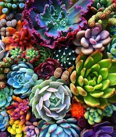 Succulents : pics