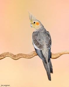 #birdsofaustralia: Adorable Bird Photography by Jan Wegener