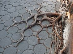 tree-roots-concrete-pavement-18 #root #photography #tree