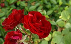 Red Roses #inspiration #photography #art