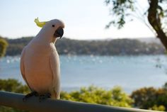 All sizes | Cockatoo | Flickr - Photo Sharing! #photography #cockatoo #bird