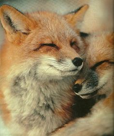 c03FR.jpg (600×714) #photograph #fox #hugs #cuddle