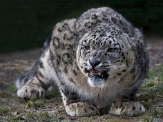 DeadFix » Gggrrr #leopard #snow