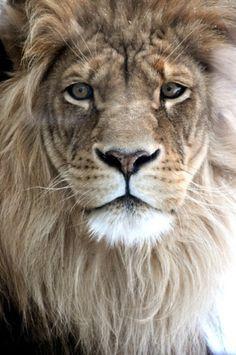 Lion #nature