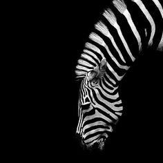 Zebra #bw #photography #animal #zebra