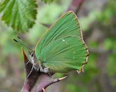 Green Hairstreak by Damian Keith #photography