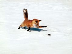 5bbe8f80.jpg (1600×1200) #red #fox #mouse #minimal #hunt #winter