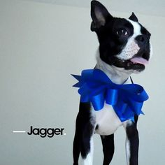 Boston Terrier #bostonterrier #paradi8e #dog
