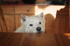 5496484165_f8071c6786_b.jpg (1024×682) #photography #westie #dog