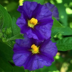 Solanum Flower Picture