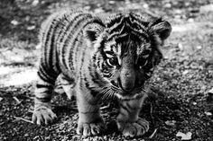 tumblr_liiok9I3I01qzu2zoo1_500.jpg (500×333) #tiger #cub