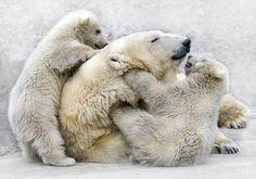 Polar bears.