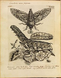 historical science B+W + colour engravings-illustrations of butterflies, bees, moths + plants + flowers in-situ (1700s) #sibylla #erucarum #merian #ortus #maria