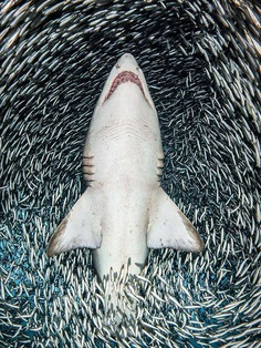 A sand tiger shark surrounded by tiny bait fish by Tanya Houppermans, United States