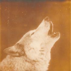 A3.jpg 670×669 píxeles #iglesias #wolves #polaroid #landscape #photography #assaf