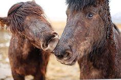 KRISATOMIC #photography #horse #iceland