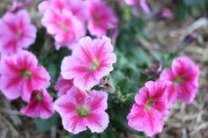 Pink Flowers, Ella Clark, taken on 1st of September 2017,http://suitcasedreaming.tumblr.com