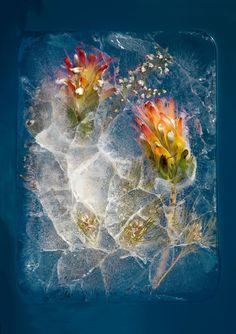 #forzen #flower #nature #photo
