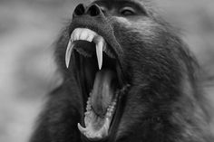 tumblr_li5vepThfW1qd5p75o1_500.jpeg (500×333) #baboon #roar #monkey #photography #yawn #animal