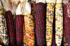Heirloom Corn. Source: Wikipedia/Sam Fentress