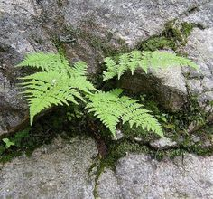 Google Image Result for http://www.greenart.com/plantphotos/ferns/Fern%2520in%2520Whte%2520Mts%252008-fll.jpg #ferns