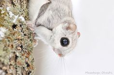 Flying Squirrels Are Probably The Cutest Animals On Earth #cute #animals #pet #squirrels