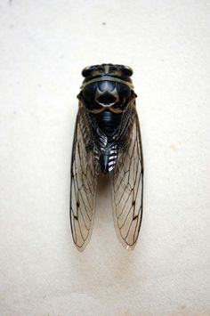 real life fairy #wings #insect #specimen #cicada