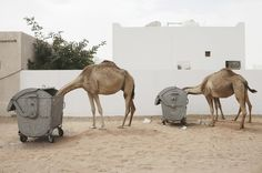 camels #nature #garbage #camels #trash