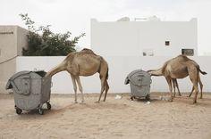 camels #nature #garbage #camels #trash