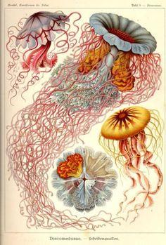 Ju est fou - Vintage illustration byErnst Haeckel.
