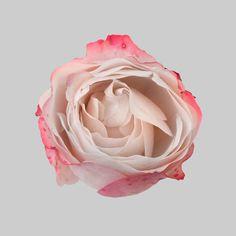 rose #pink #circle #flower #rose