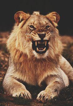 Disimba #lion