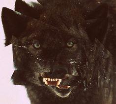 tumblr_lc3z1kx6Oi1qzs56do1_500.jpg (JPEG Image, 500x449 pixels) #glitch #wolf
