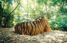 Jason_Edwards_24112 #photography #tiger #stripes #animal #beauty #jungle #endangered #cat #big cat #feline