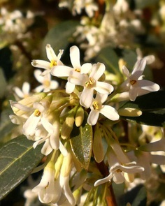 Osmanthus Flower Picture