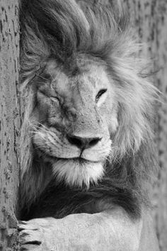 Total Relaxation - Lion #animal #photography #black and white #cat #chill #king #beauty #lion #rest #relax