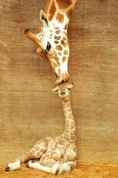 Search results for giraffe | 48500 | Wookmark #photo #spots #kissing